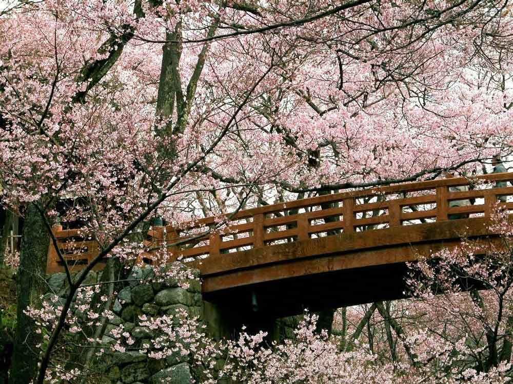 Праздник любования цветущей сакурой