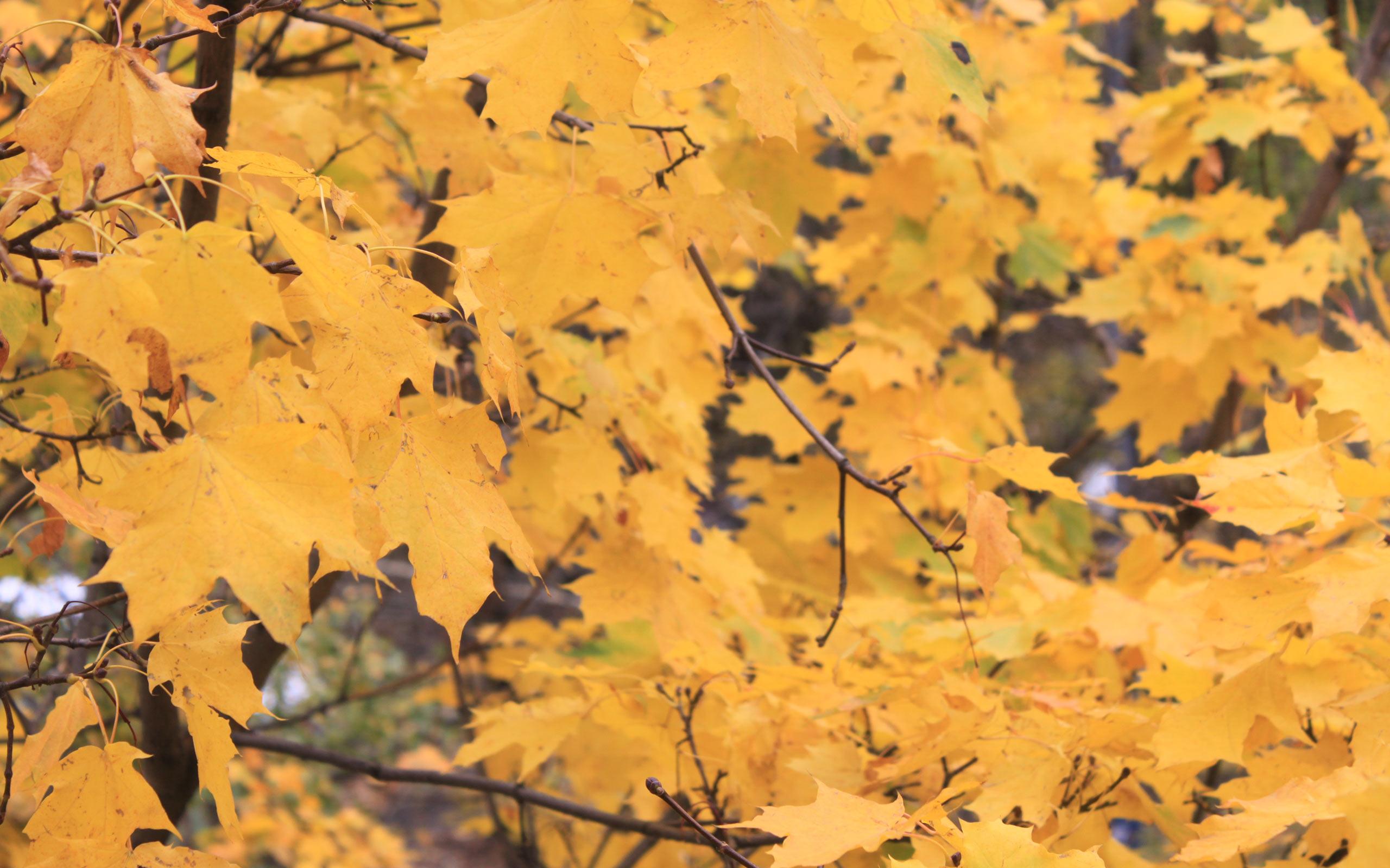 Хентай листья клёна 1 фотография